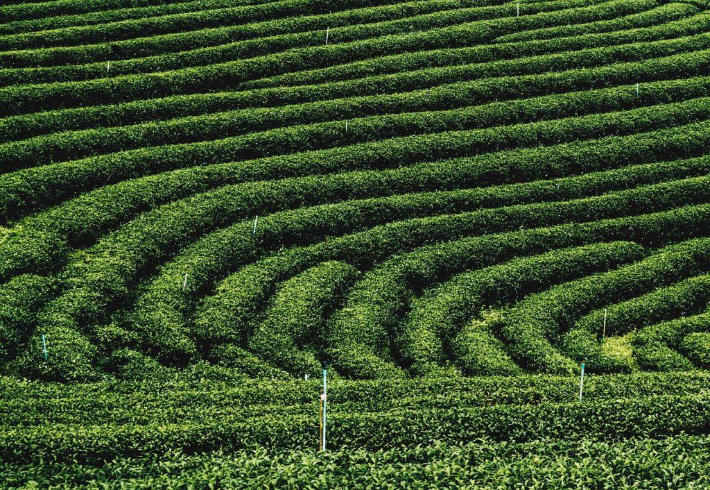 Plantación de té en Tailandia.