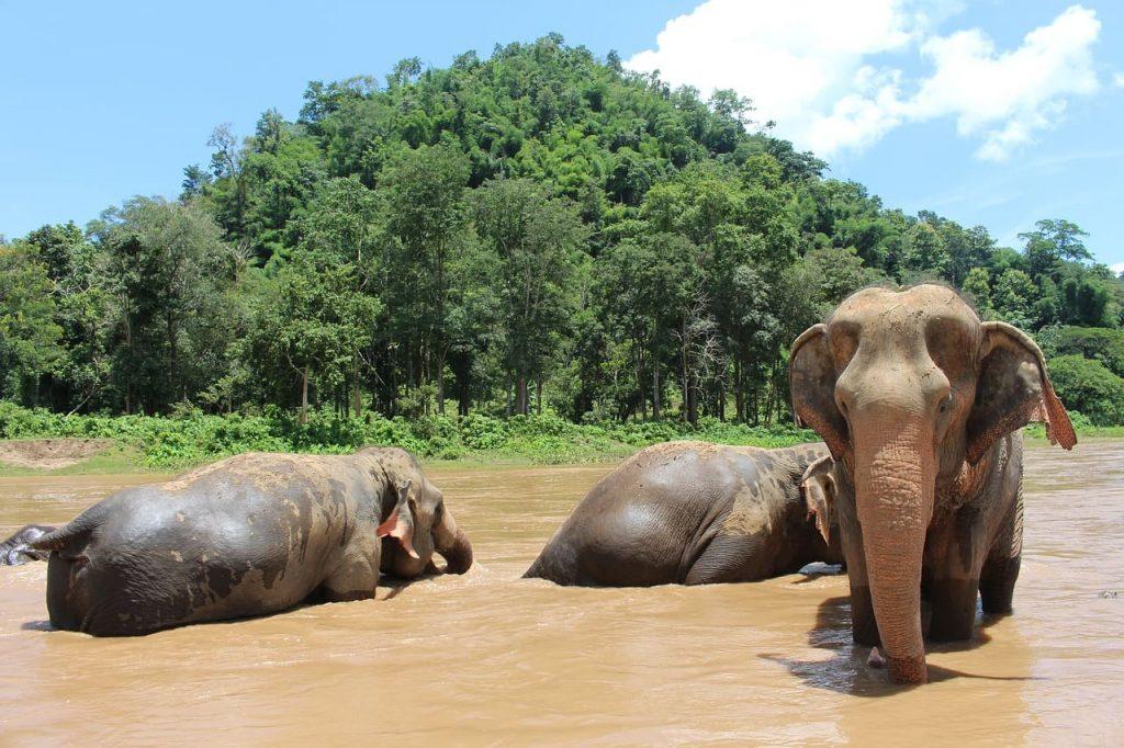 Visitar un santuario de elefantes puede ser una gran experiencia en Chiang Mai.